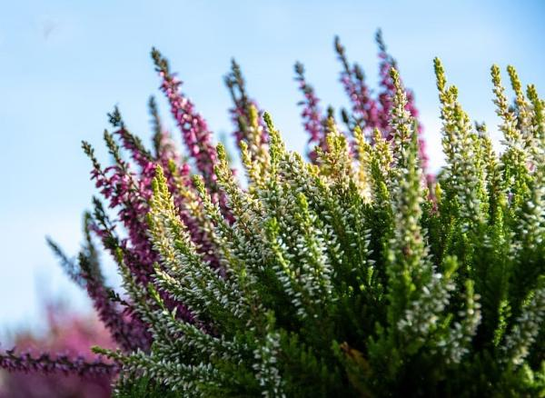 Acidophilic plants: what they are, examples and care - Erica spp and Calluna spp or heather