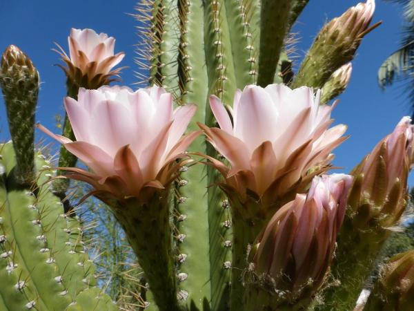 Types of flowering cacti - What are cacti