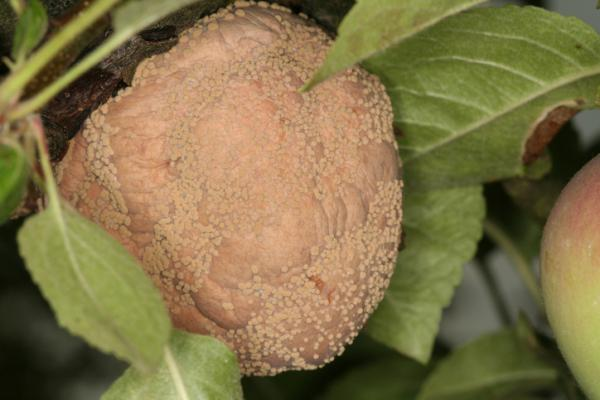 Peach tree diseases - Monilinia laxa or monilinia