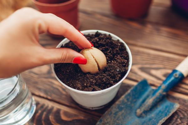Potted avocado care - When and how to plant potted avocado
