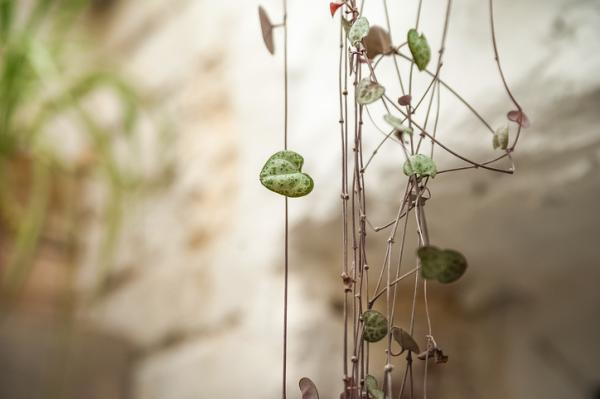 Hanging succulents: types, care and how to reproduce them - Heart necklace