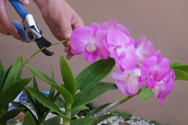 How to care for orchids - Orchid pruning