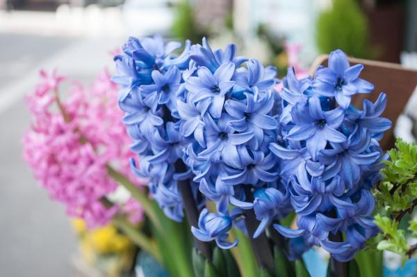 Hyacinths Care - When Hyacinths Bloom