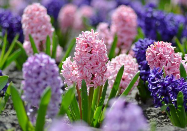 Care of hyacinths - Hyacinths: characteristics
