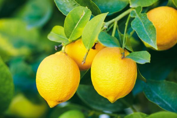 Types of lemon trees - Bush