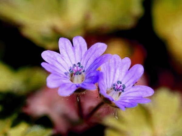 23 types of geraniums - Geranium molle L.