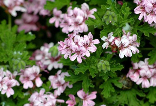 23 types of geraniums - Pelargonium citrosum, an anti-mosquito geranium with a good smell
