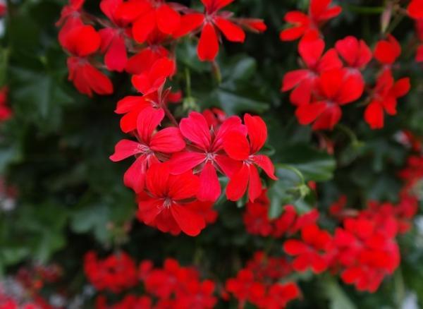 23 types of geraniums - Pelargonium peltatum