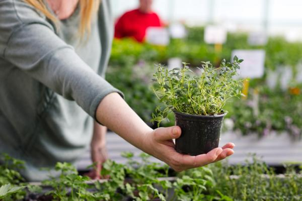 Thyme care - How to care for a thyme plant - care guide