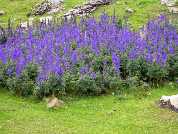 What are the most poisonous plants in the world - Common Aconite