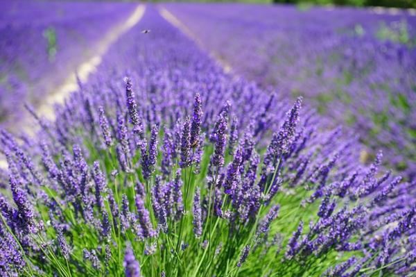 Breeding lavender: when and how to do it - Lavender care - simple guide
