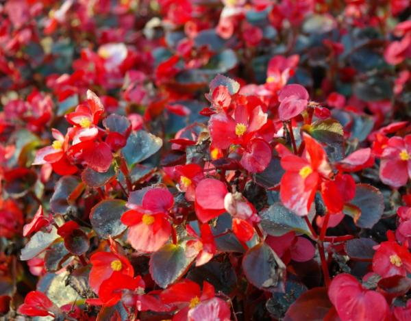 Growing and caring for begonia - Caring for begonias