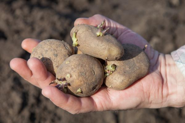 Tubers: what they are and examples - Potato or potato