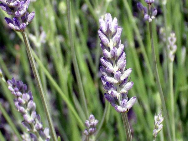 12 types of lavender - Lavandula latifolia