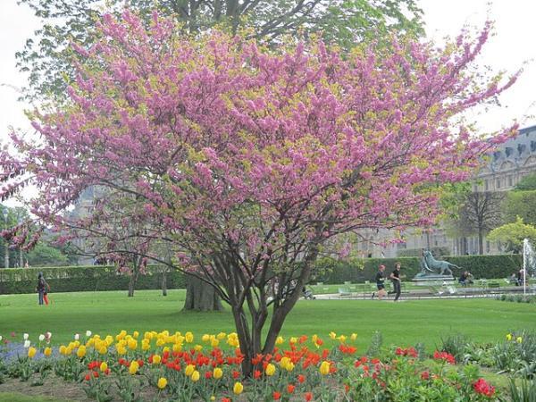 Small trees: names, characteristics and photos - Cercis siliquastrum