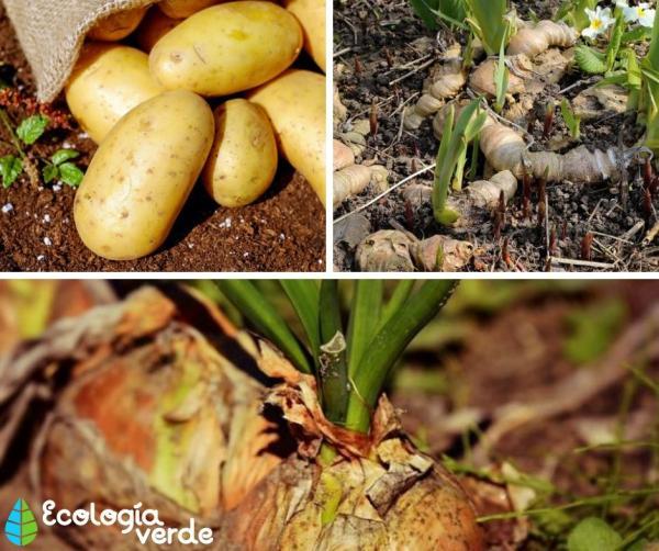 Stem types - Underground stem types - examples