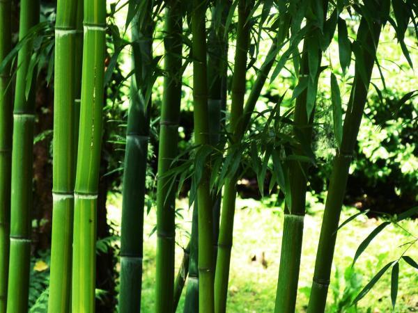 Outdoor potted plants - Bamboo