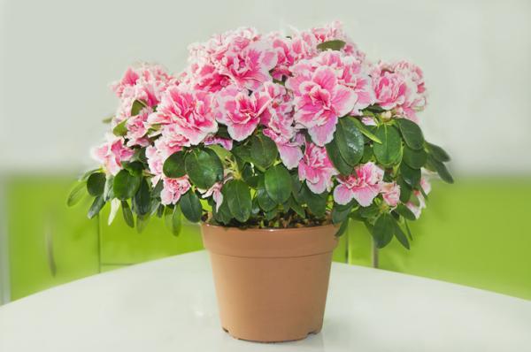 Outdoor Potted Plants - Azalea