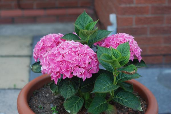 Outdoor potted plants - Hydrangea