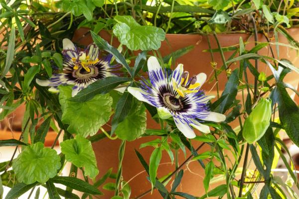 Outdoor potted plants - Passionflower