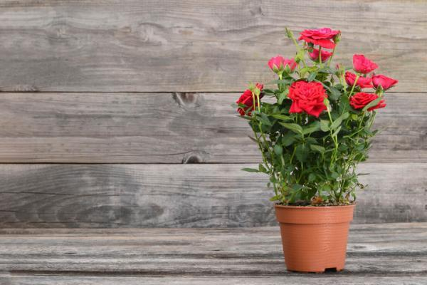 Outdoor potted plants - La rosa