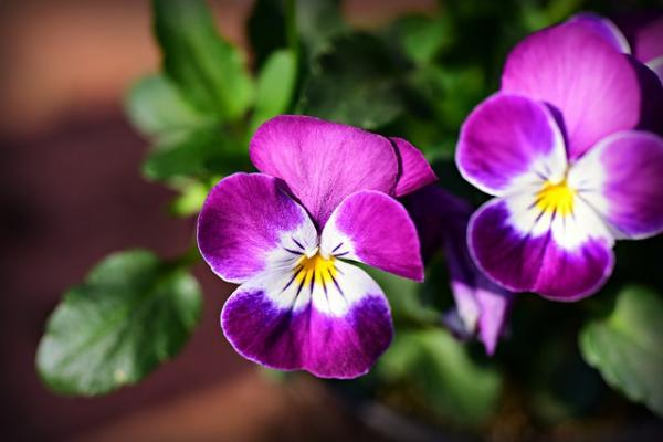 Outdoor Potted Plants - The Pansies