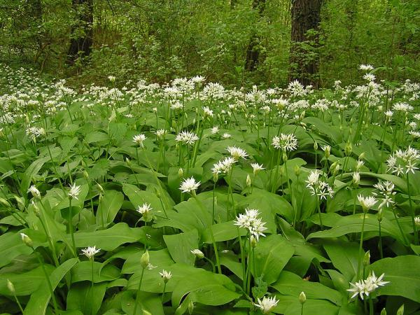 Wildflowers: names and photos - Allium ursinum or bear's garlic