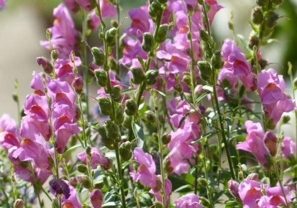 Wildflowers: names and photos - Antirrhinum barrelieri or dragoncillo