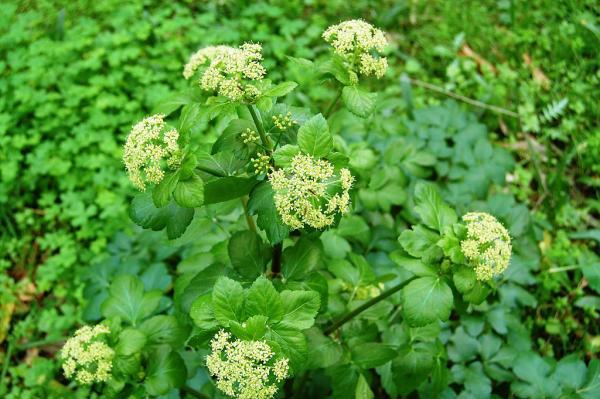 Wildflowers: names and photos - Smyrnium olusatrum or horse celery