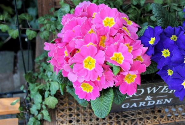 Primrose care - Compost for primroses