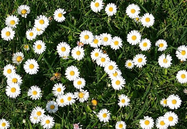 Types of Daisies - Common Daisy (Bellis perennis)
