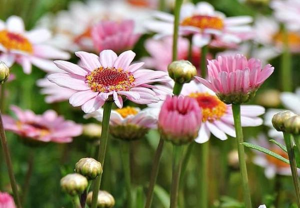 Types of daisies - Margaza (Argyranthemum frutescens)