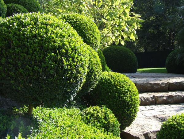 Potted boxwood care - What is boxwood or Buxus sempervirens