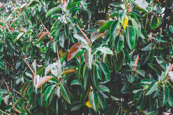 Plants with colored leaves - Ficus elastica or rubber tree
