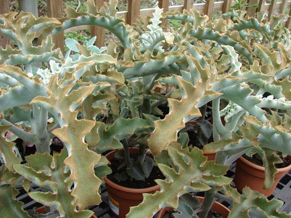 +40 types of kalanchoe - Kalanchoe beharensis