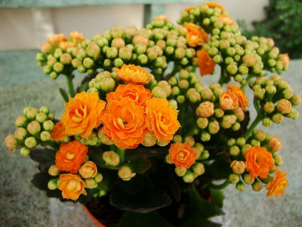 +40 types of kalanchoe - Kalanchoe blossfeldiana, the most popular