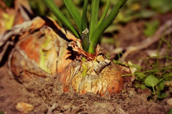 15 bulb plants - Onions