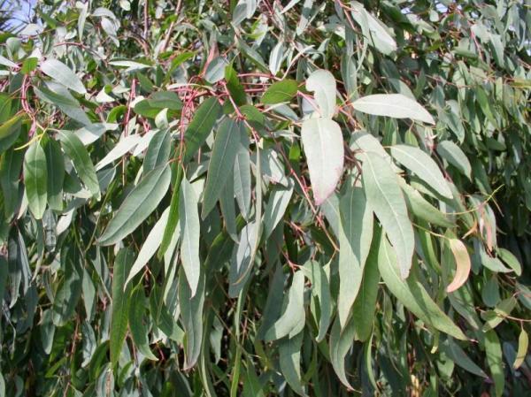 Types of Eucalyptus - Eucalyptus rostrata