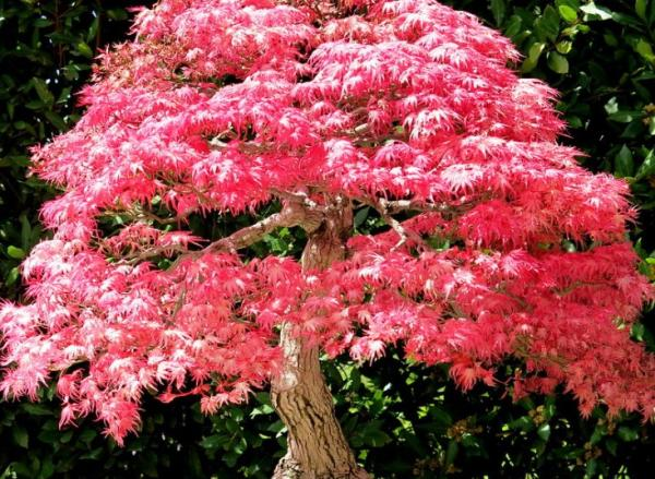 Japanese maple: care and varieties - Characteristics of the Japanese maple
