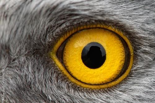 Eagle Eye Close Up Macro Photo Eye Of The Male Northern Harrier Fotos De Archivo E Imagenes Libres De Derechos En Fotolia Com Imagen 191368093