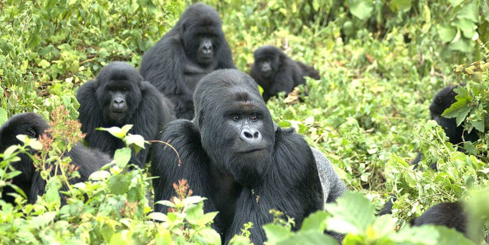 The-number-of-mountain-gorillas-in-Volcanoes-National-Park-has-increased