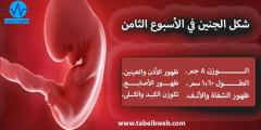كيف يكون شكل الجنين بالاسبوع الثامن