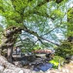 木の根橋(大ケヤキ)