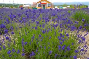 北海道立オホーツク流氷公園 オホーツクラベンダー畑・花のサロン