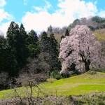 秋山の駒桜