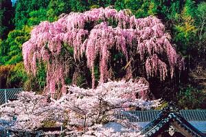 福聚寺(福聚寺のしだれ桜)