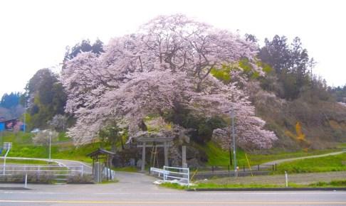 新殿神社の石割桜