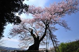 子守堂の桜