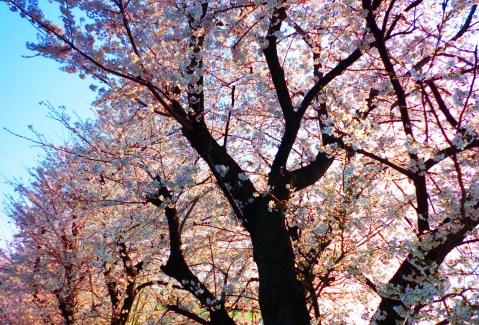 飛鳥山公園・桜