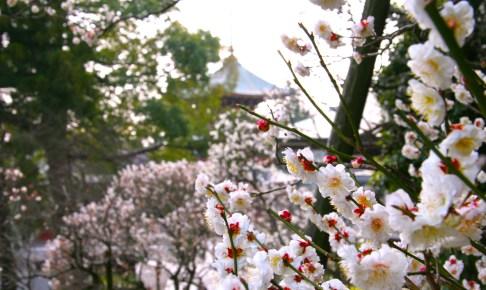 成田の梅まつり